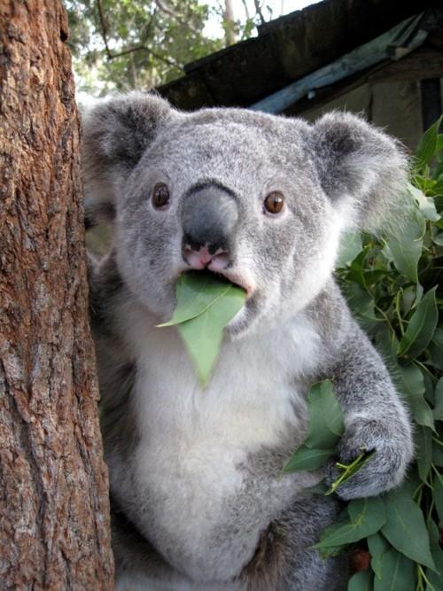 wtf_koala
